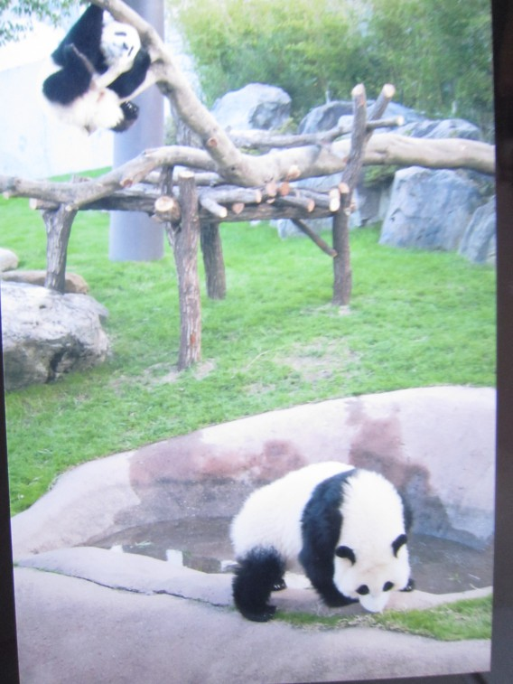 アドベンチャーワールドの双子のパンダ