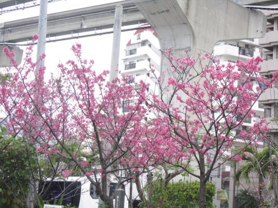 国際色豊かな国際通りで桜が・・
